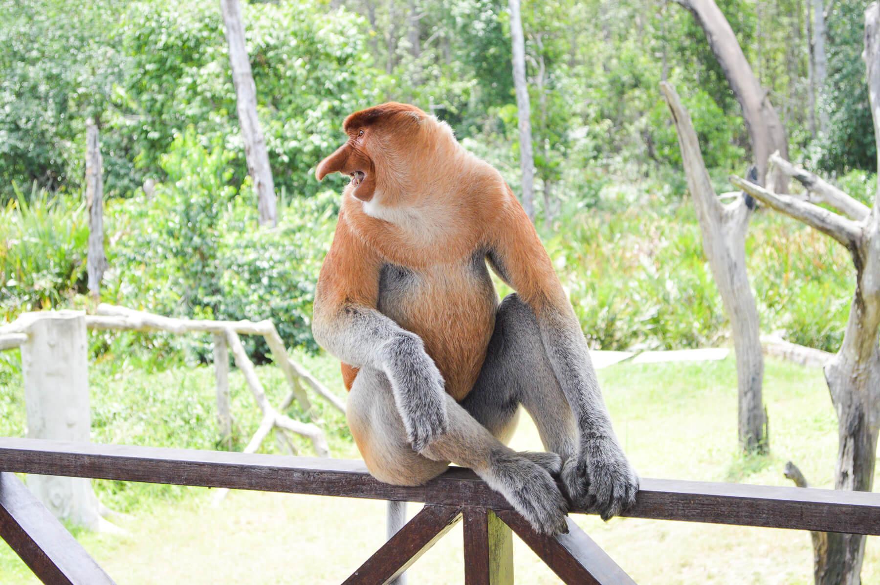An angry proboscis monkey at the Proboscis Monkey Sanctuary