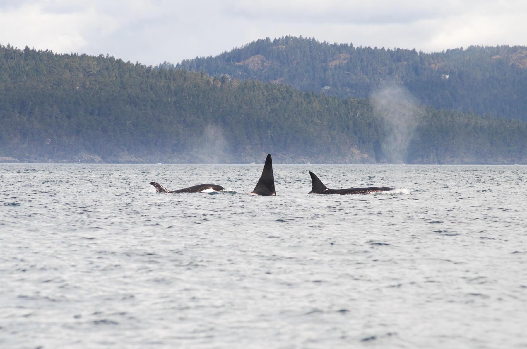 3 killer whales in ocean