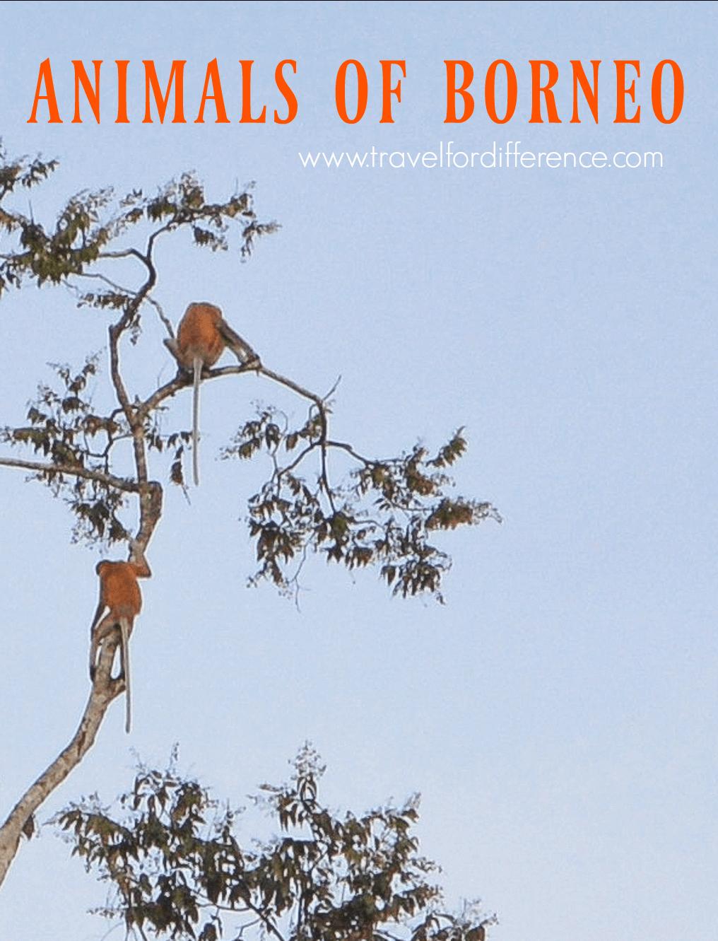 2 Proboscis Monkeys in a tree with text overlay - Animals of Borneo