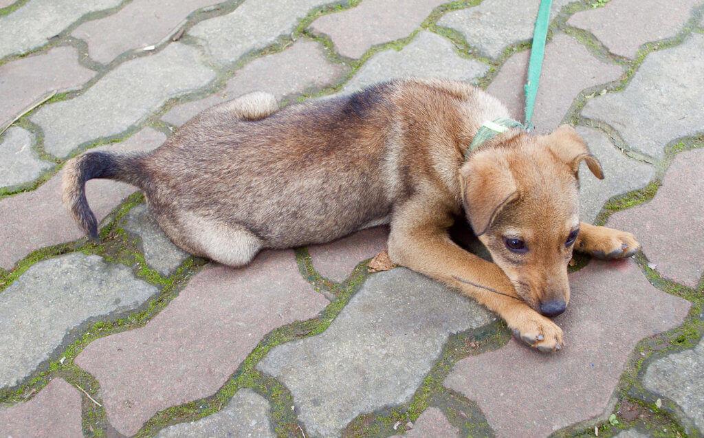 Brown puppy on the bricks