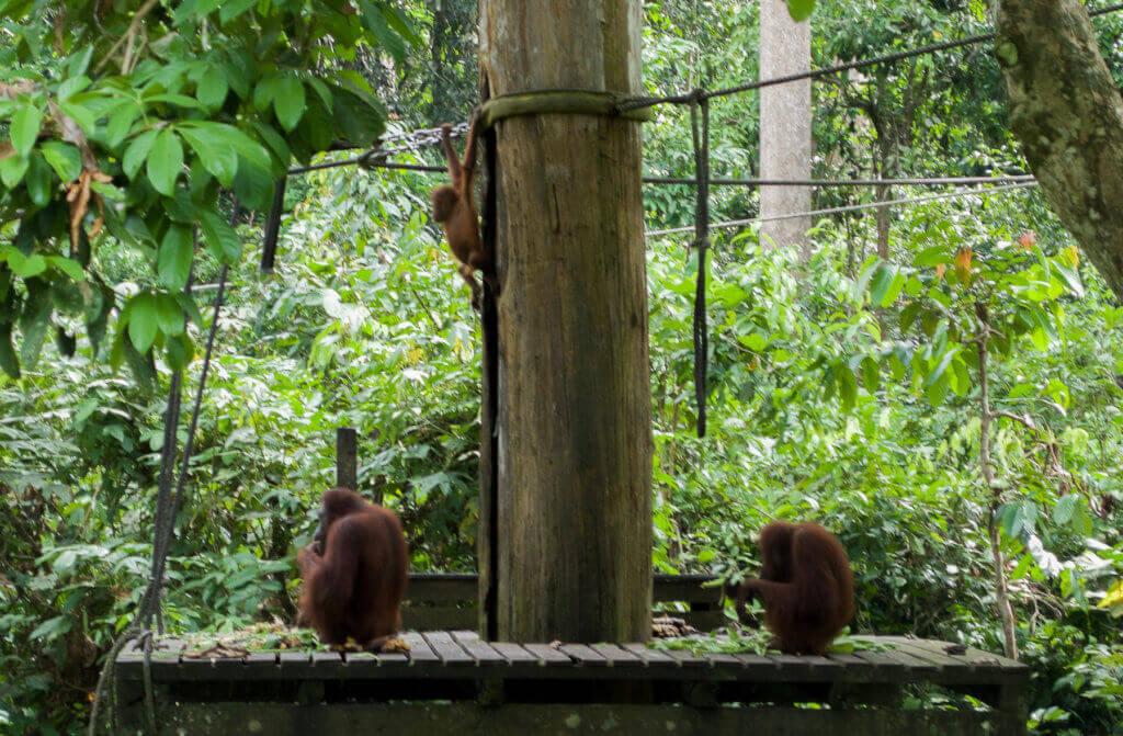 2 Orangutans and Babies feeding at Sanctuary