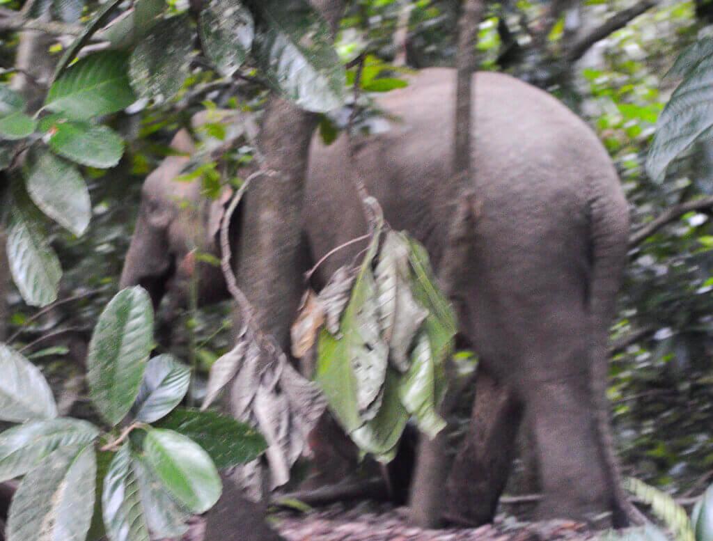Pygmy Elephant walking through the jungle