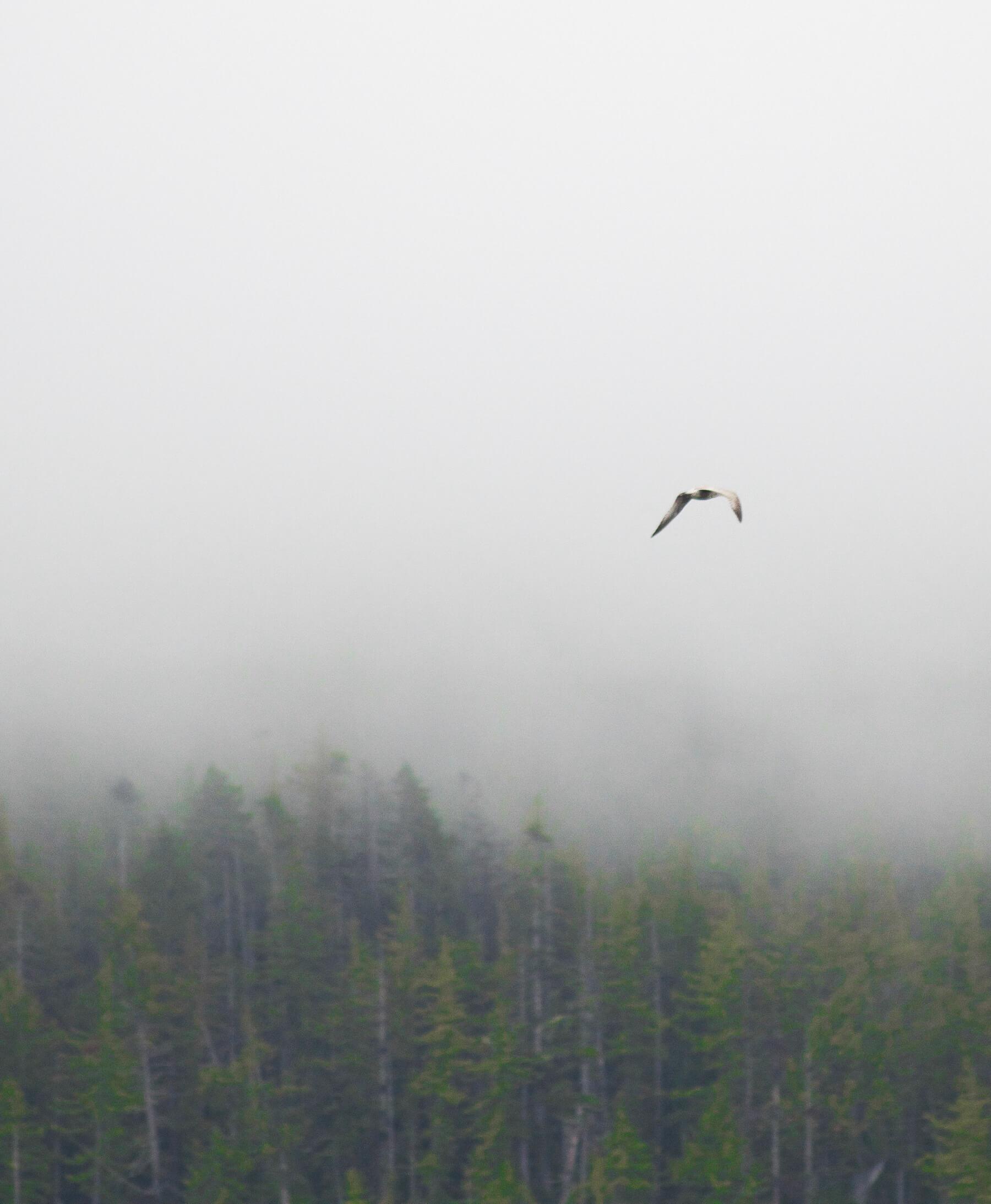 Seagull flying into fog in Alaska