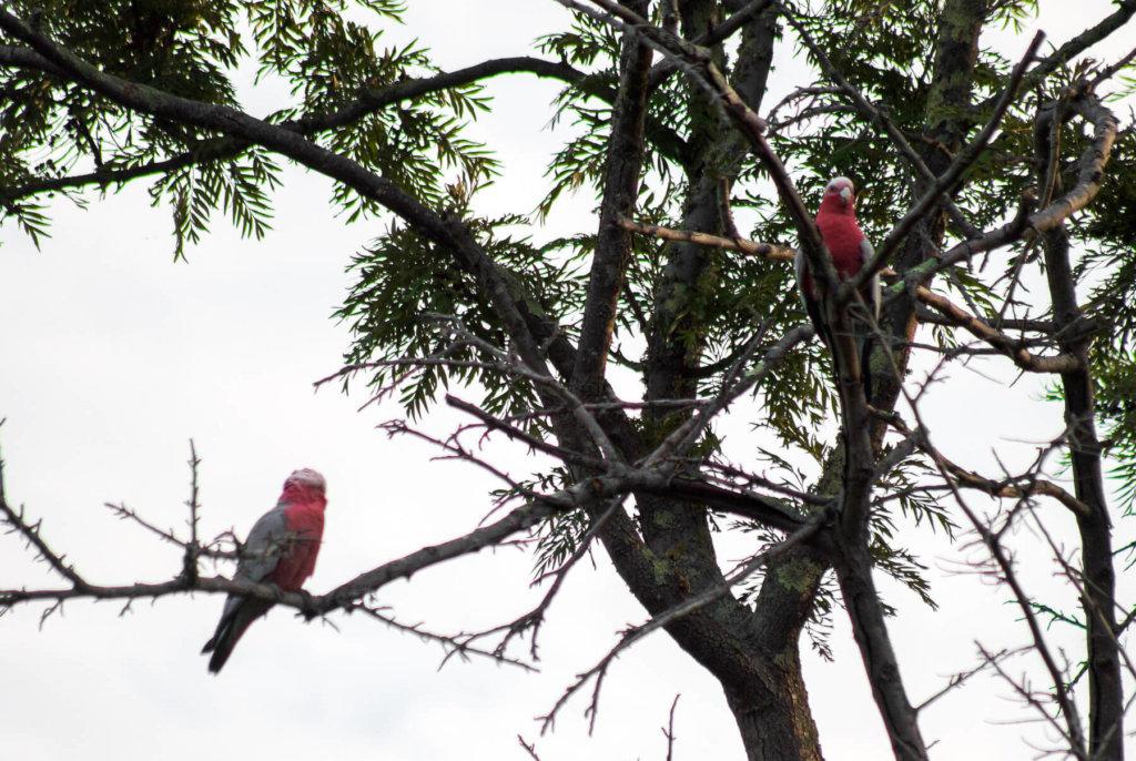 2 pink/grey birds sitting in a tree