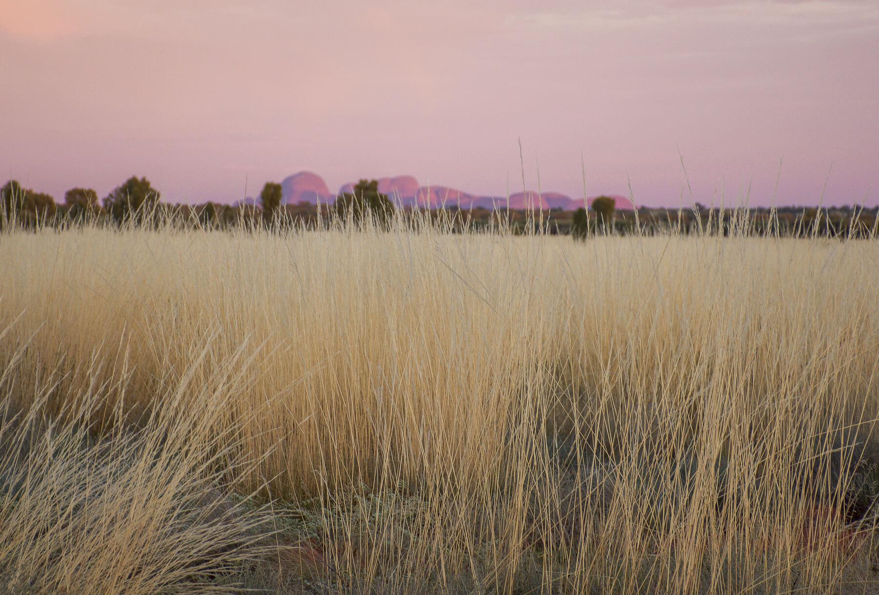 Cream coloured, spinifex grass infront of distant Kata Tjuta Domes