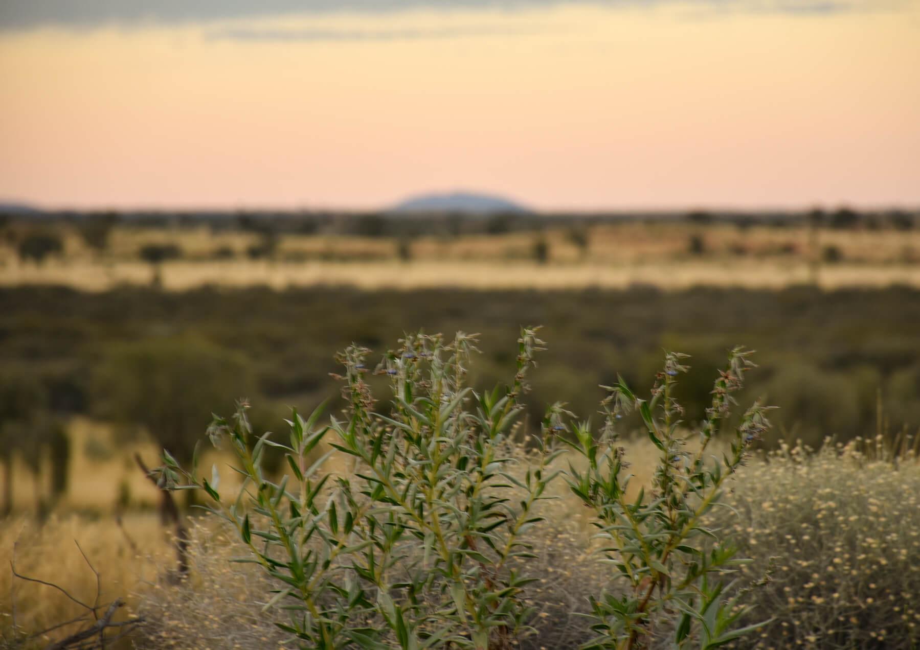 golden yellow sunrise far away from Uluru