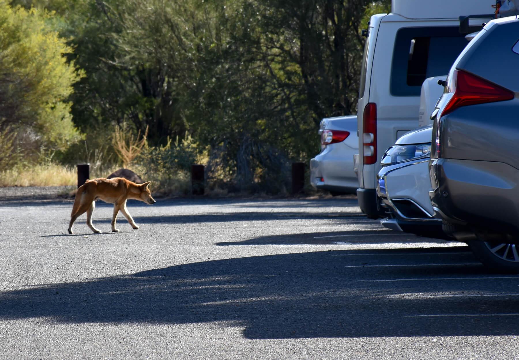 Very thin Dingo walking through the carpark