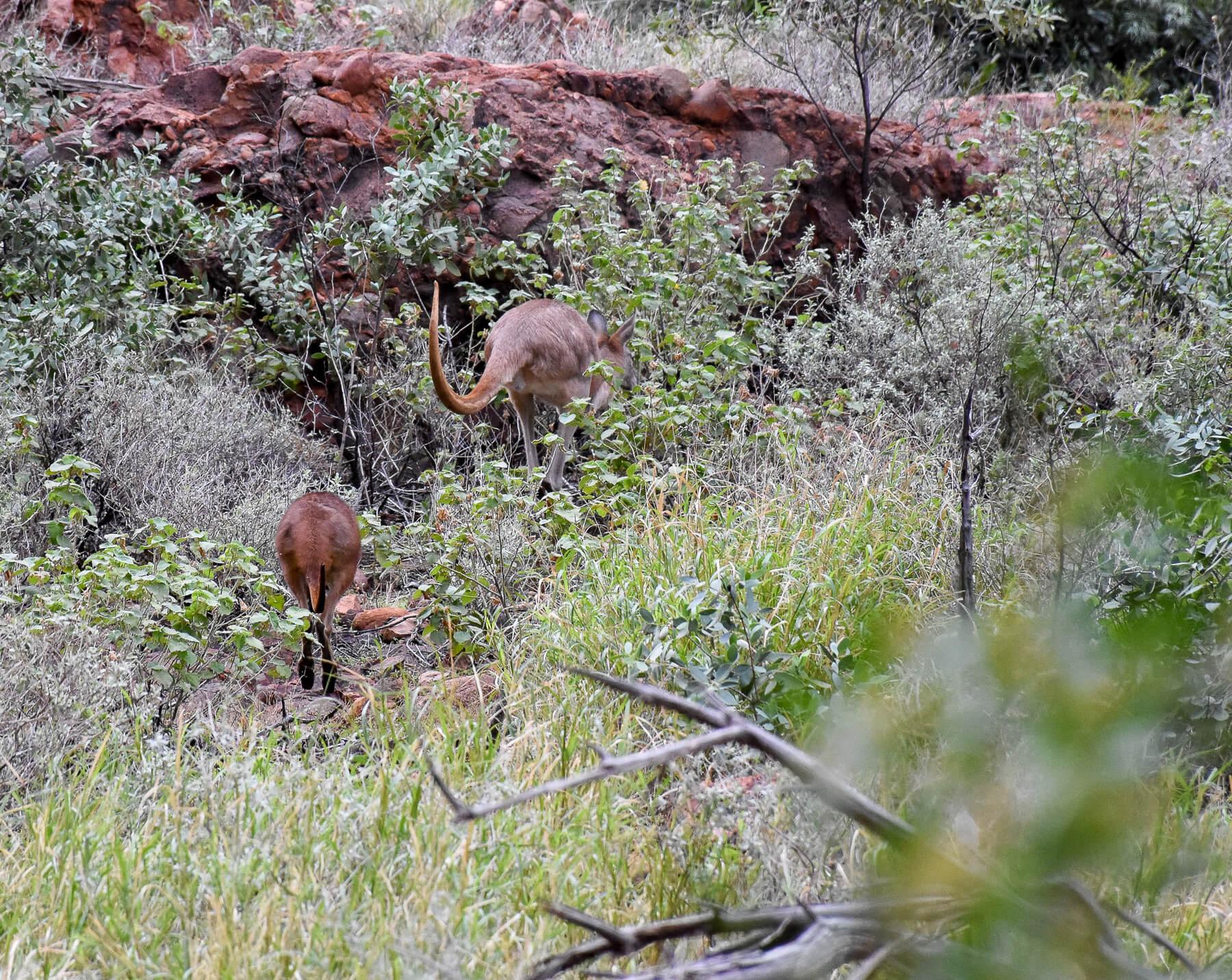 Mum and Baby Walaroo jumping into the bush