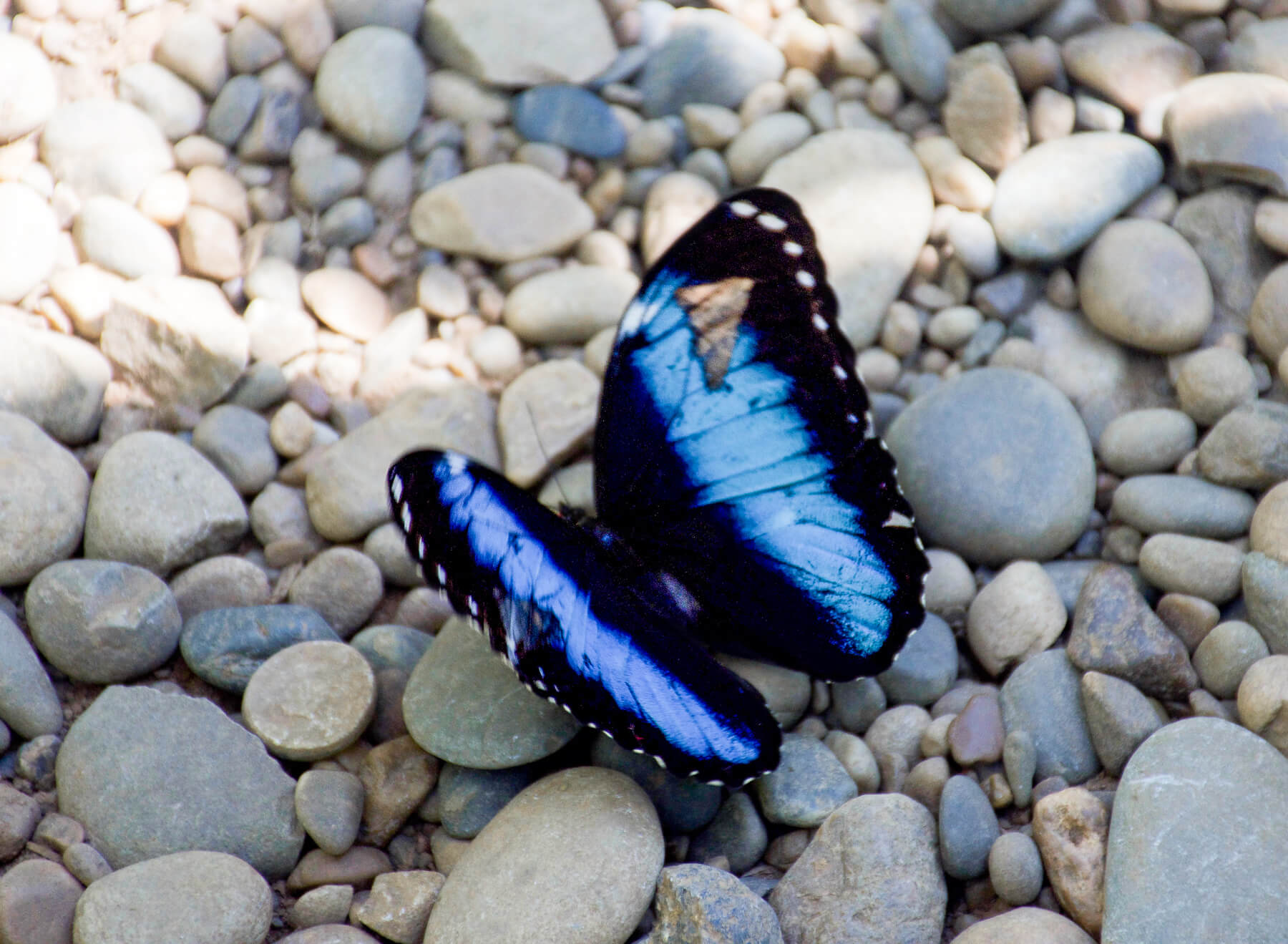 A black butterfly perched on some pebbles with a vibrant light blue stripe down the centre of each wing