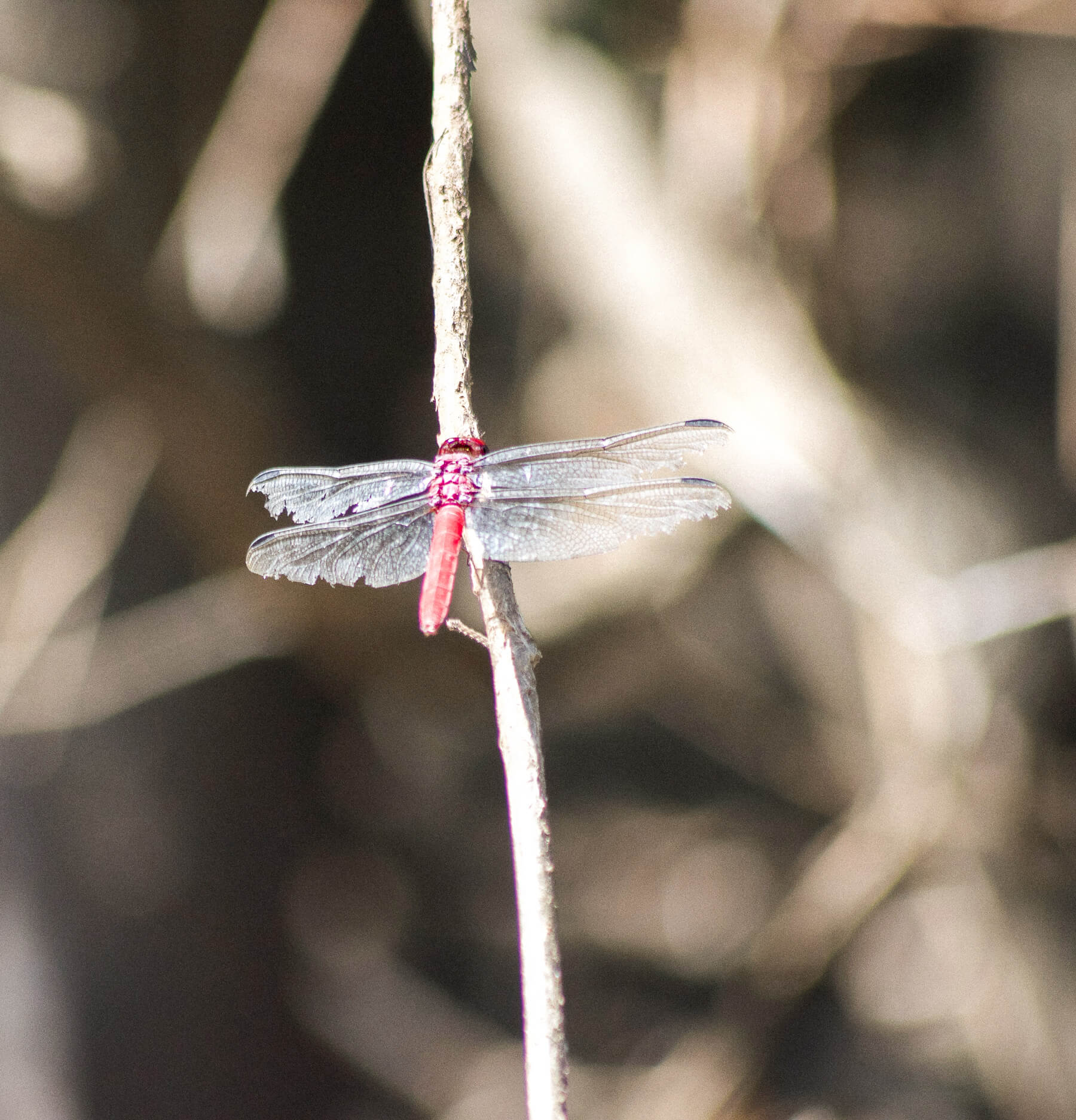 Closeup of a bright red dragonfly sitting on a stick