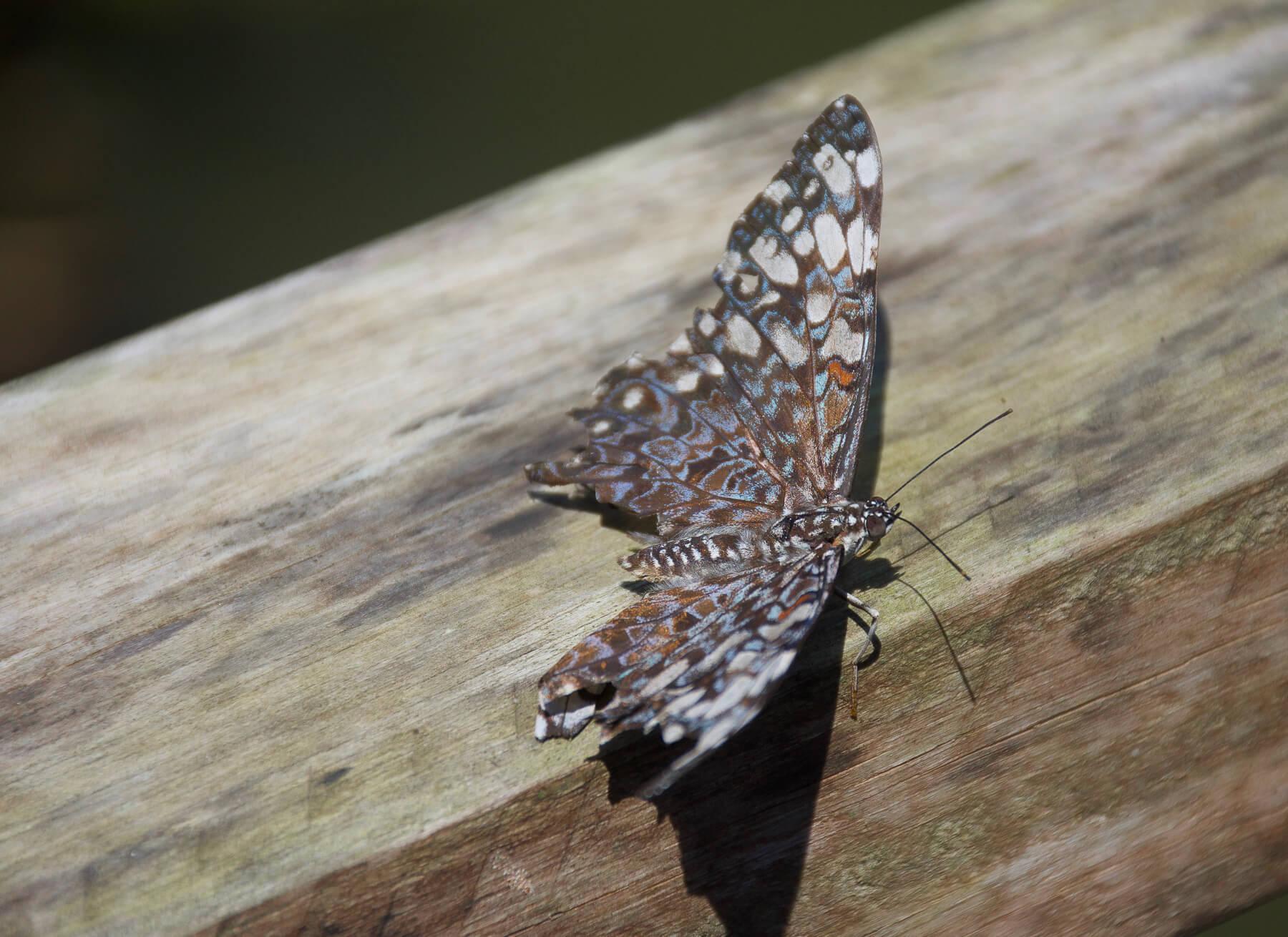 Spotty amazon butterfly resting on a log