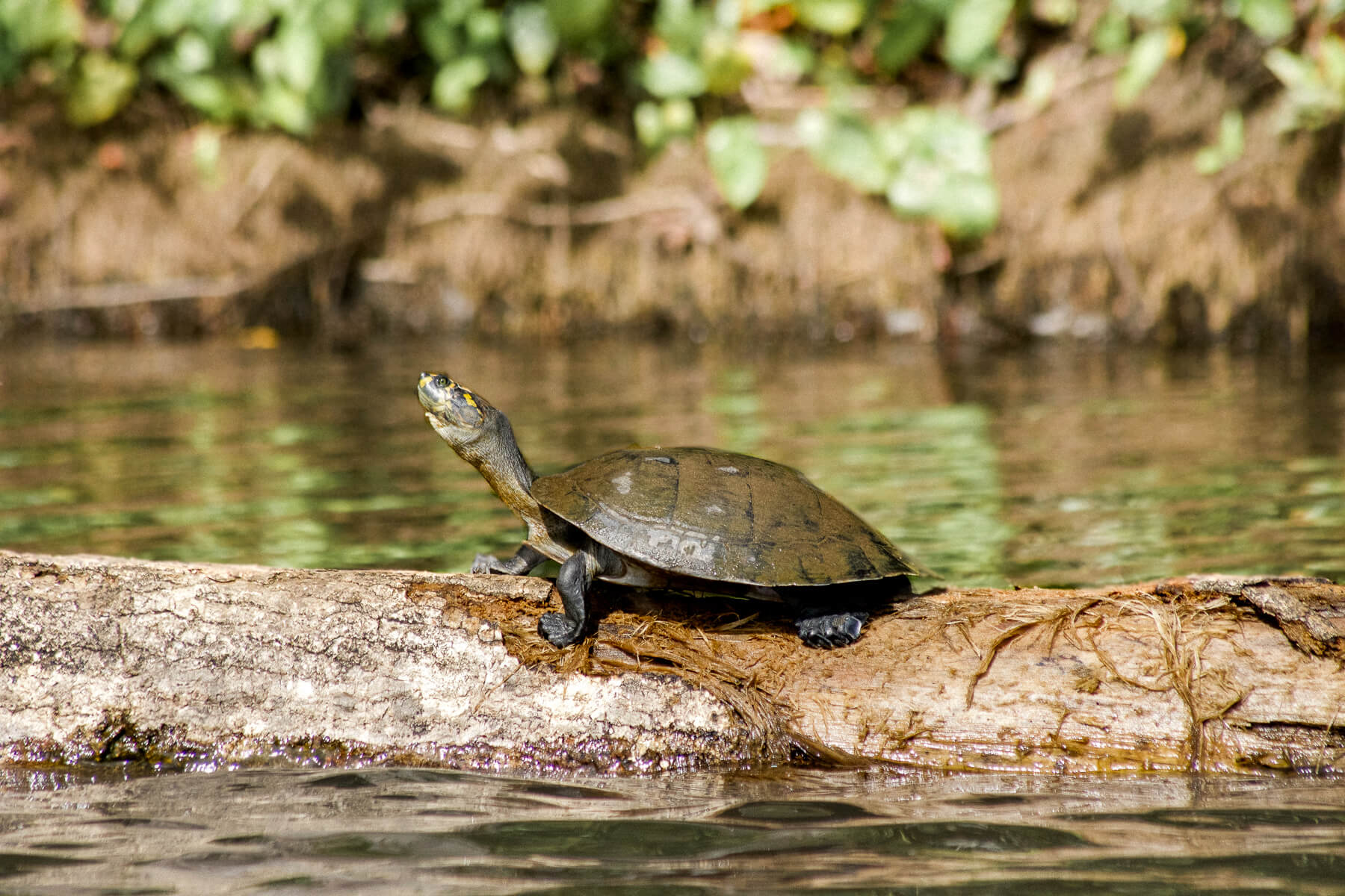 A small turtle sitting on a floating log at Lake Sandoval