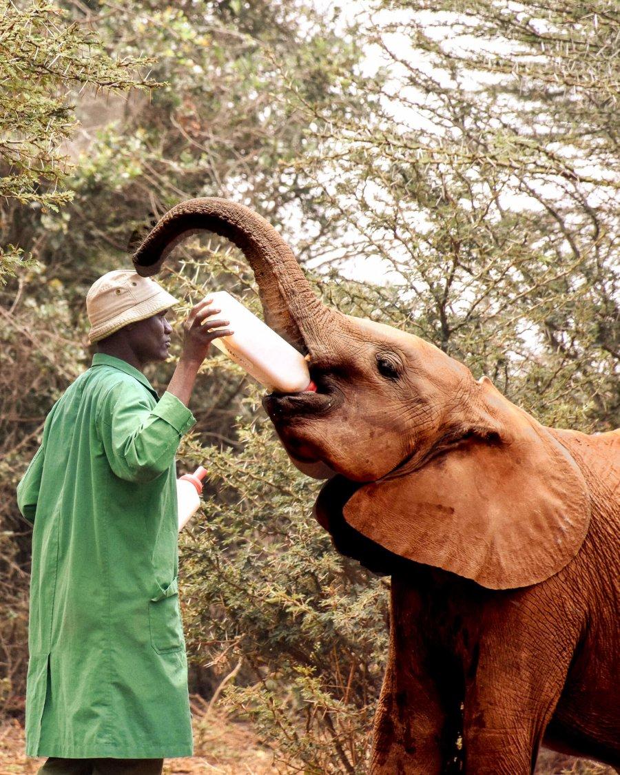 A Kenyan man in a green coat feeding a baby African elephant a bottle of milk
