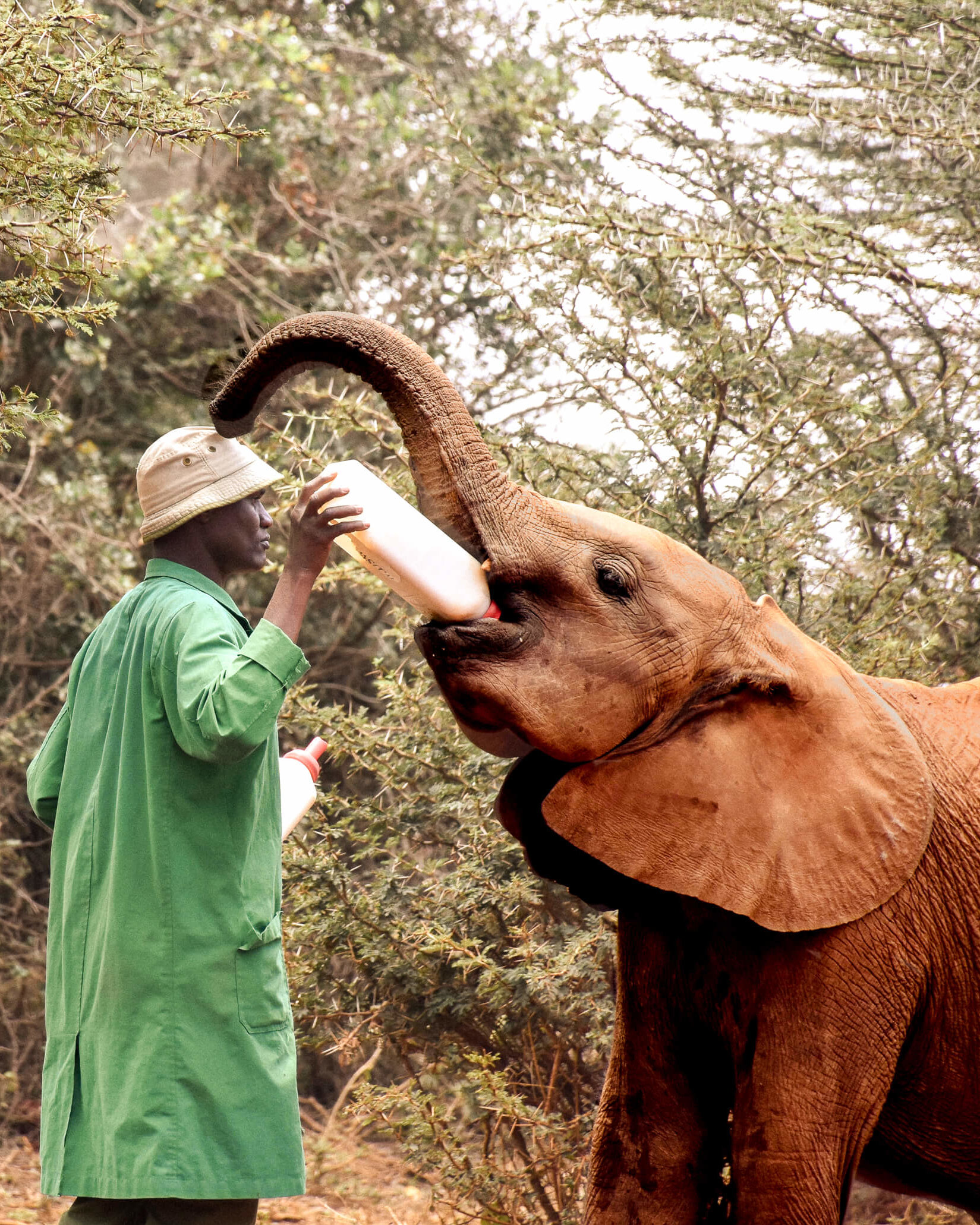 A Kenyan man in a green coat feeding a baby African elephant a bottle of milk