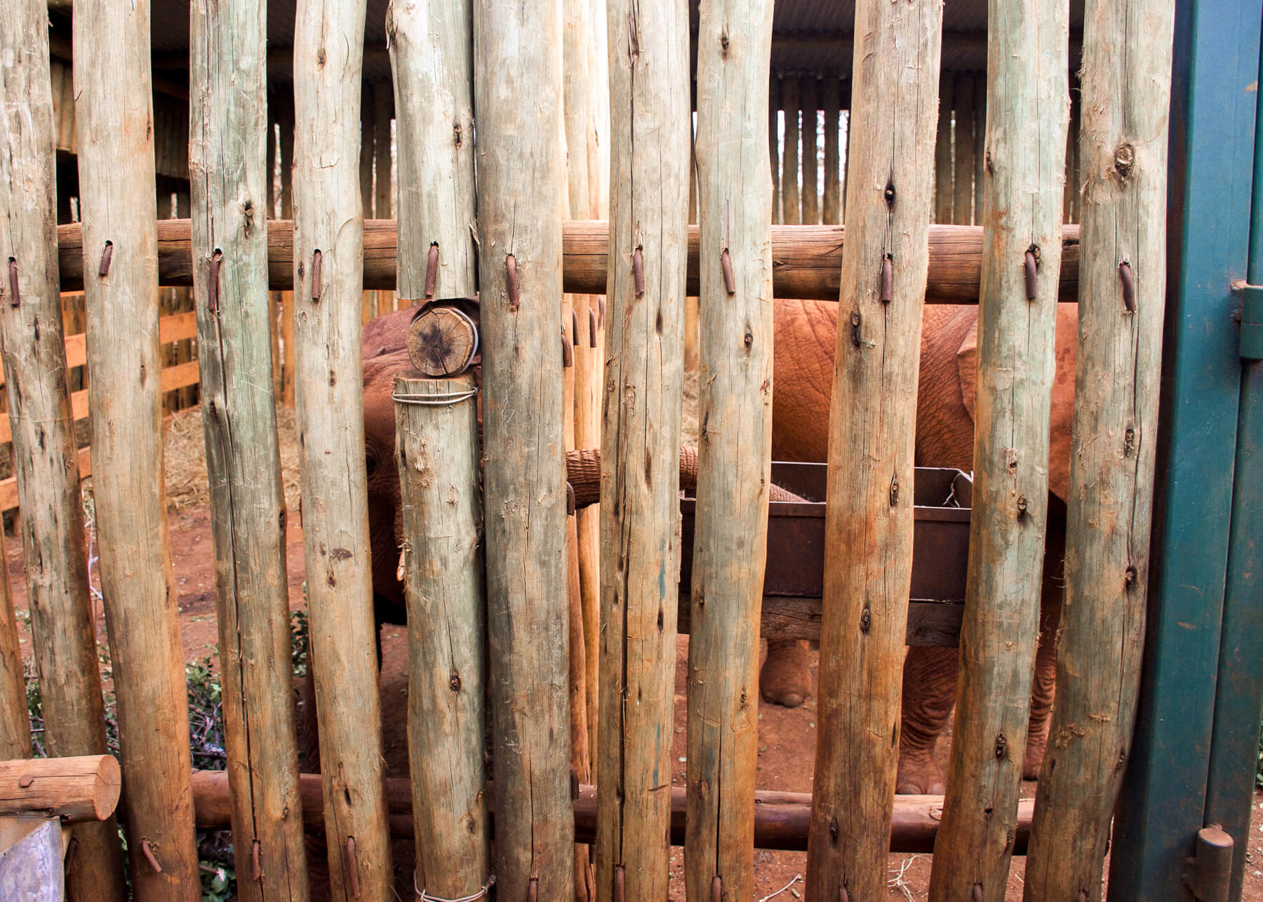 Looking through the wooden slats of the pens at David Sheldrick, and a baby elephant is stealing another elephants food with its trunk