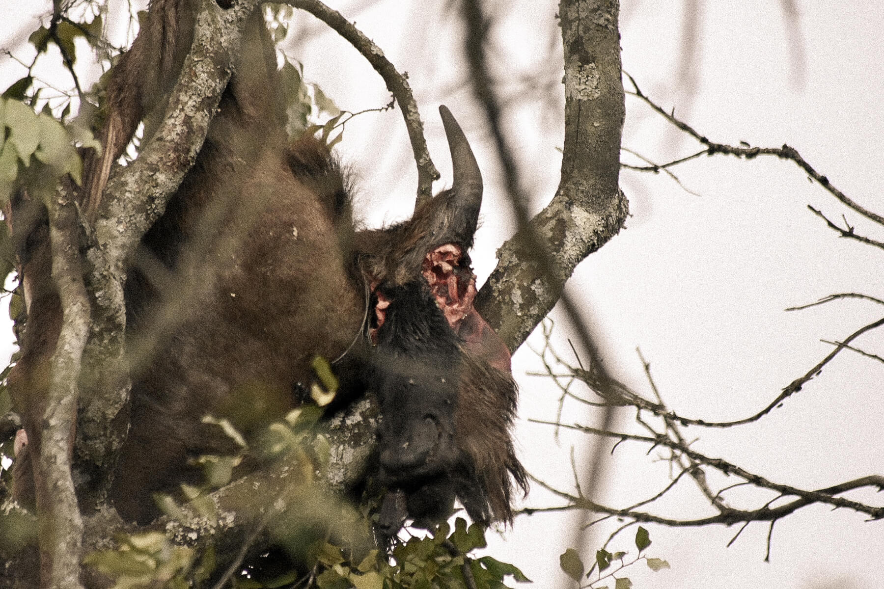 A dead wildebeest with its eyes gauged out in a tree - Put there by a leopard