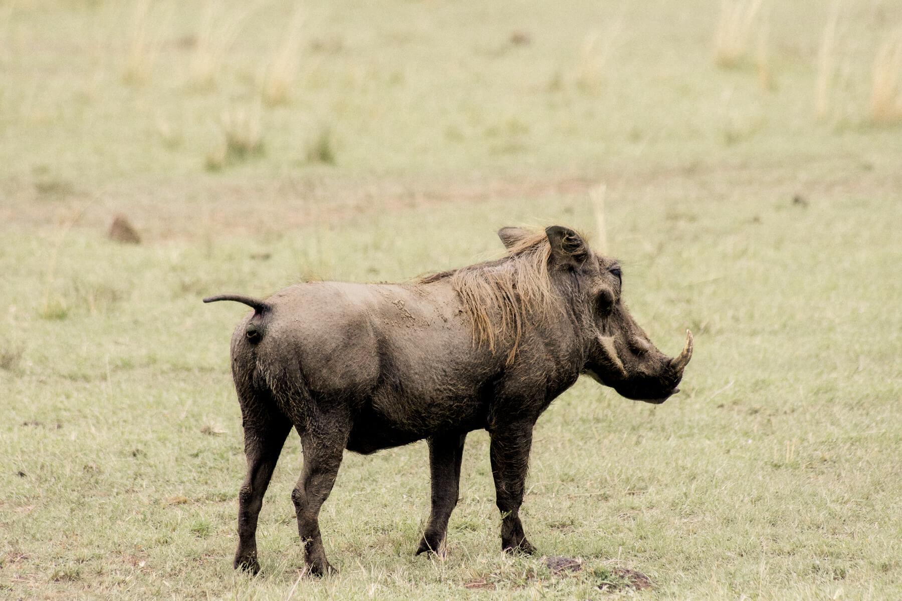 A male warthog standing in the Maasai Mara