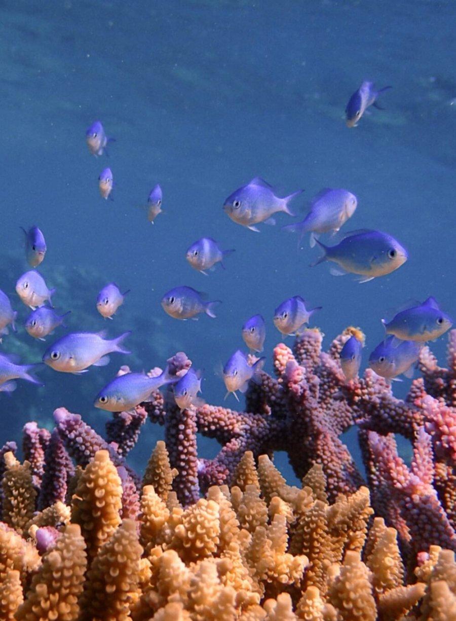 A group of Blue Chromis Fish