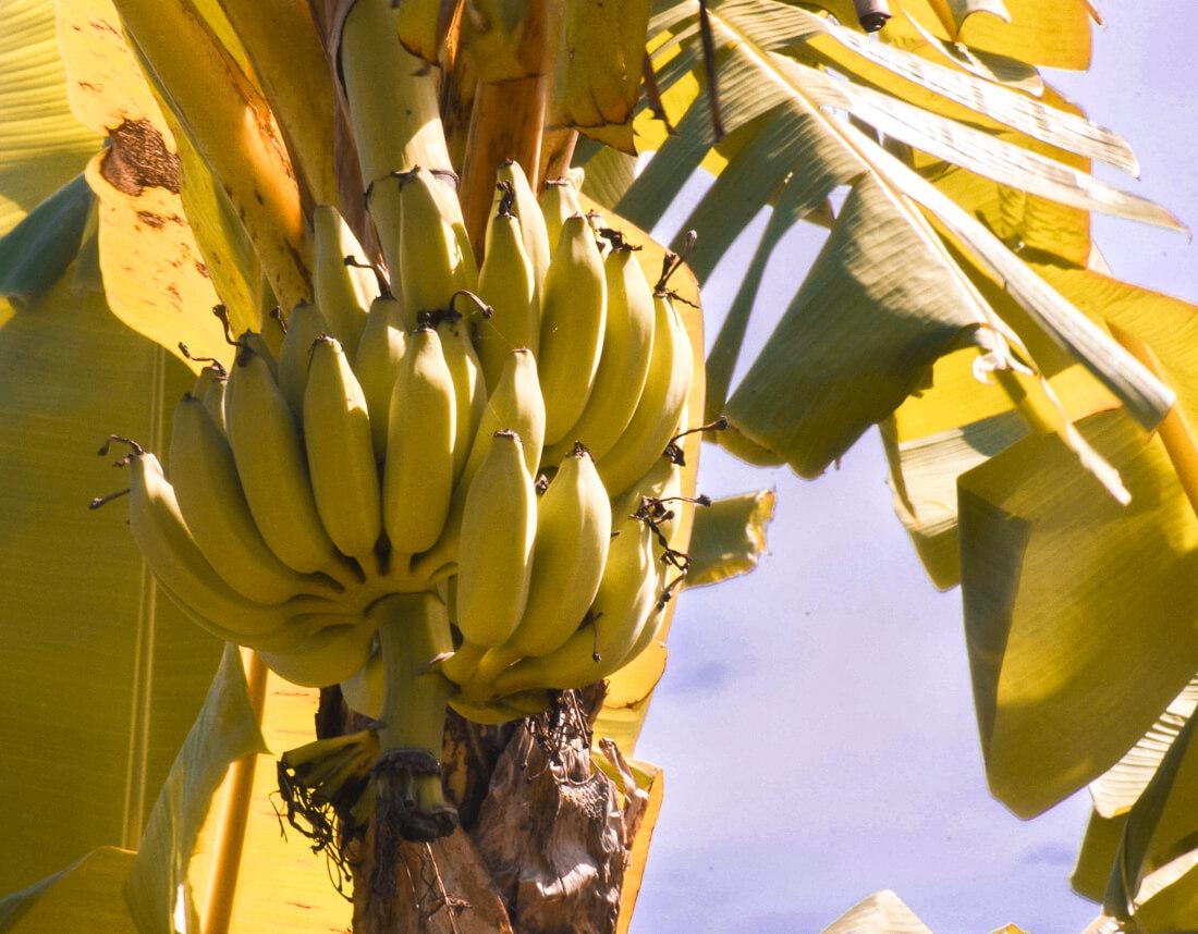 A bunch of green bananas on a banana palm