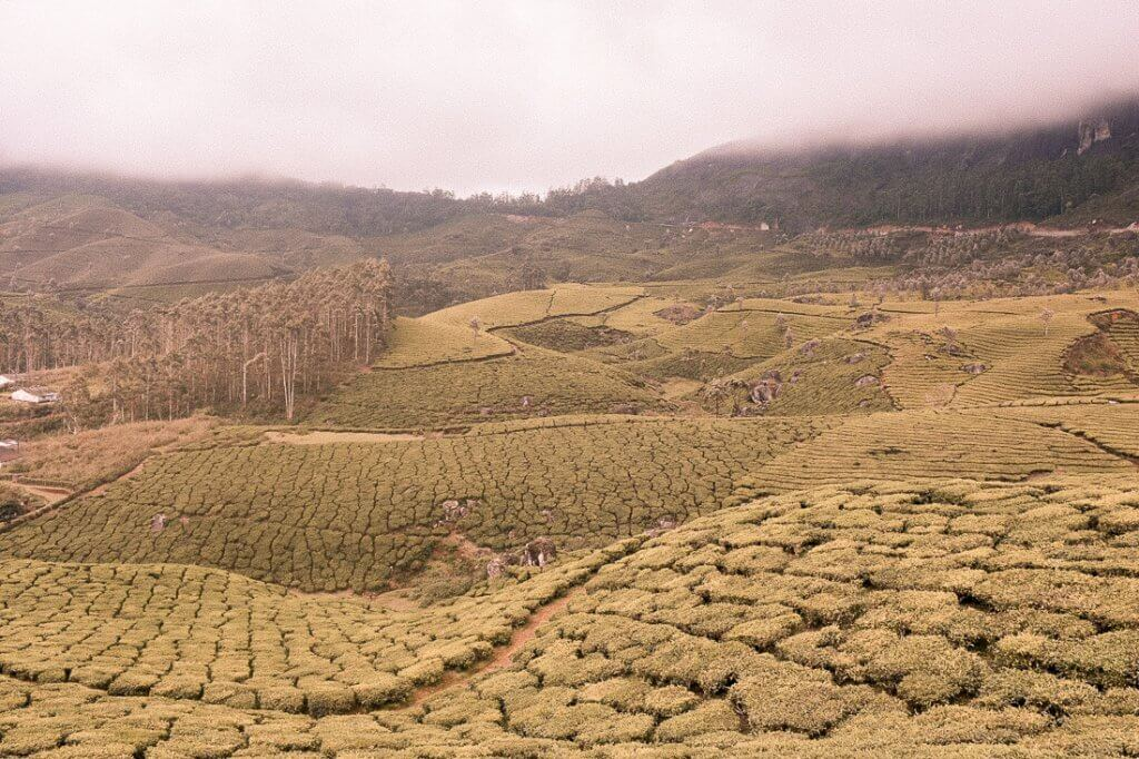 Rolling hills in Kerala covered in Tea Plantations