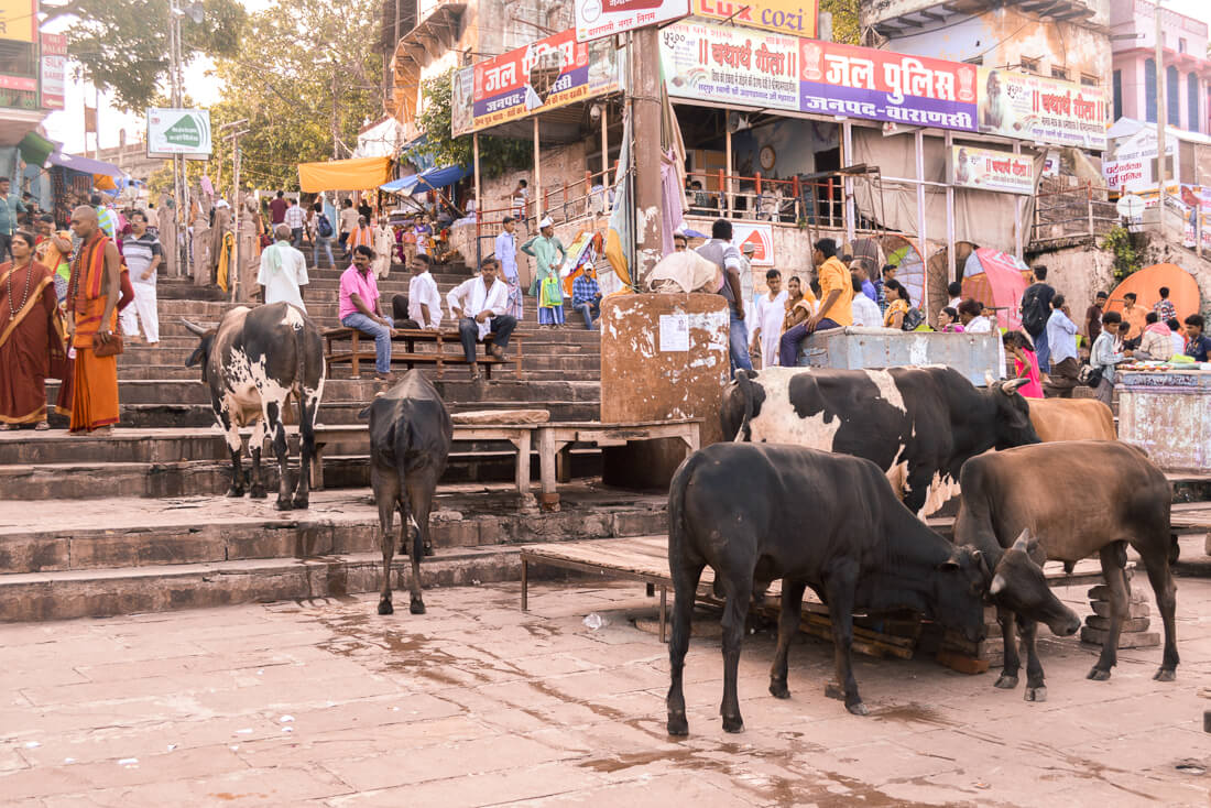 Cows and crowds of Indian people on the stairs in Varanasi