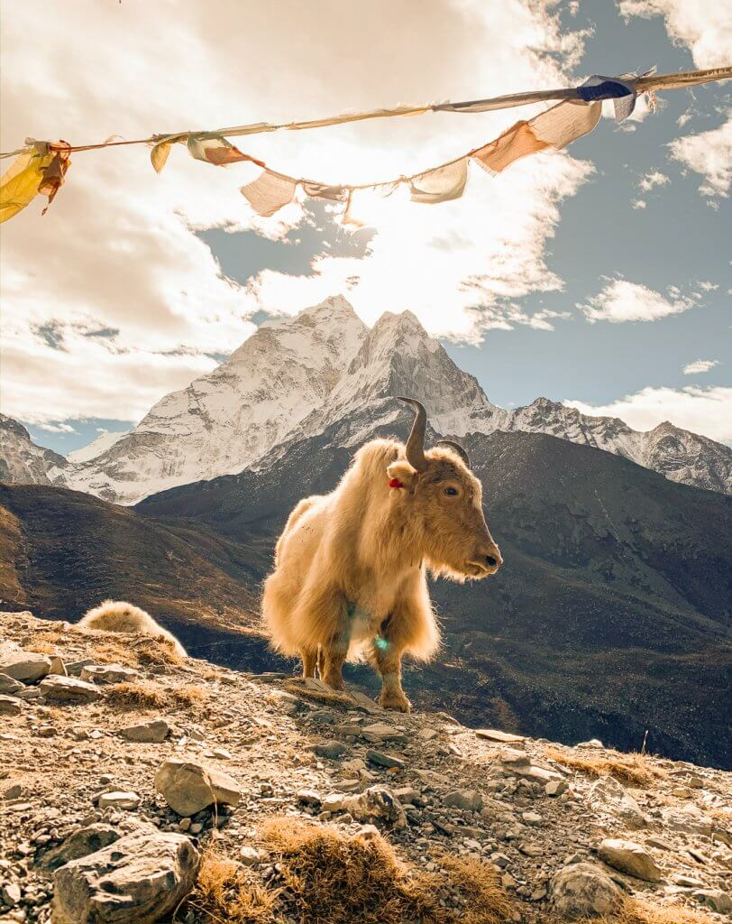 Yak standing under a string of flags in front of a snowy mountain in Nepal