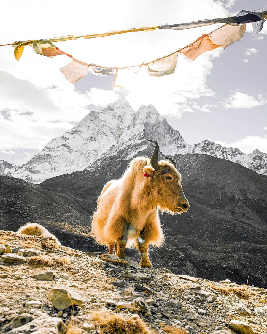 Yak standing under prayer flags in the Himalayas