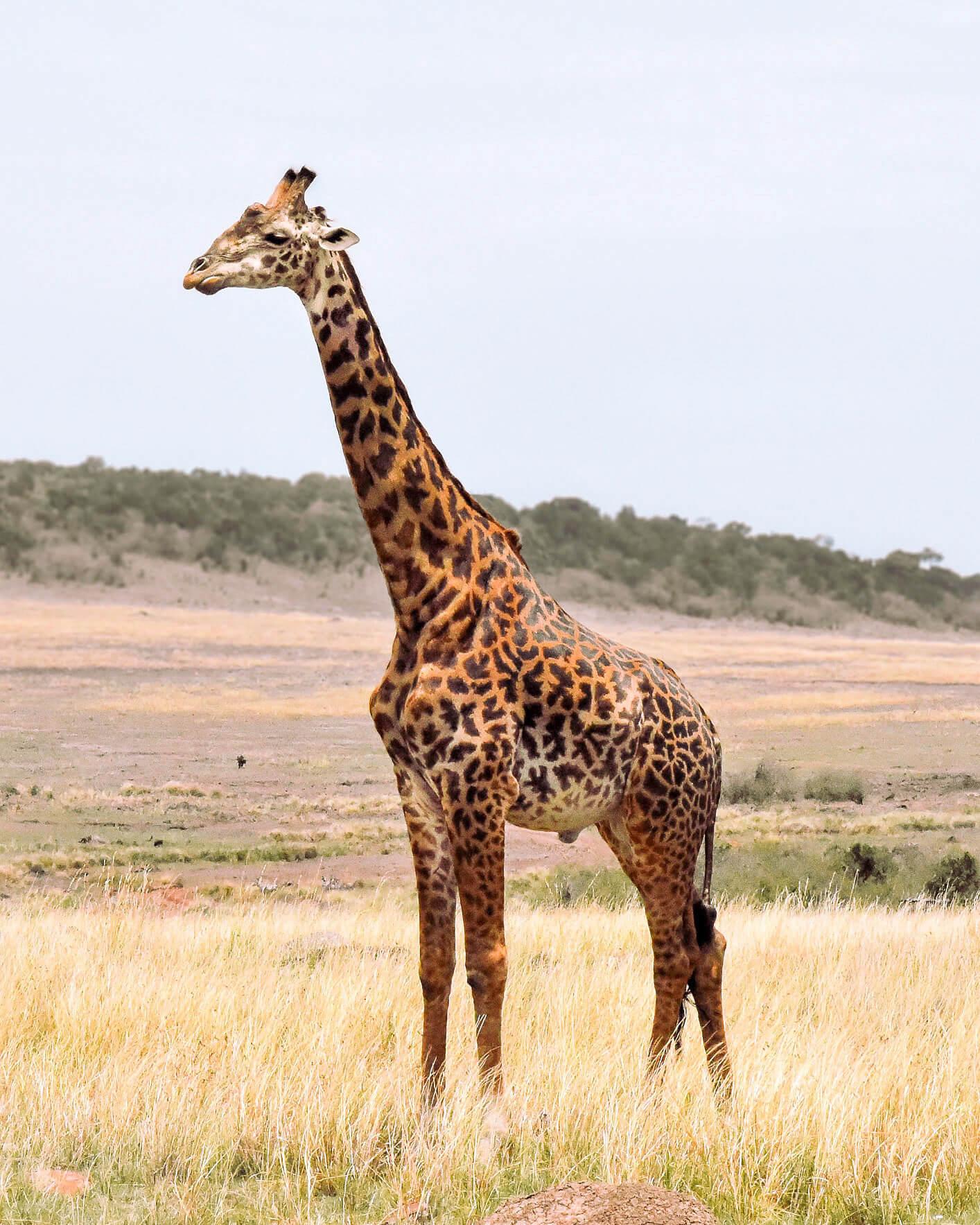 A huge male Giraffe standing in the savanna