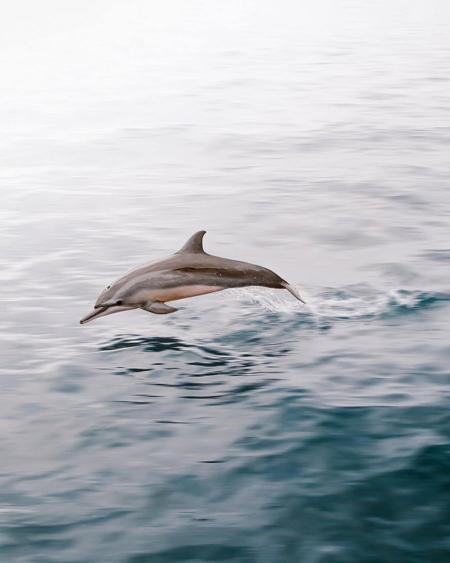 A small spinner dolphin jumping out of the water in the Pacific Ocean