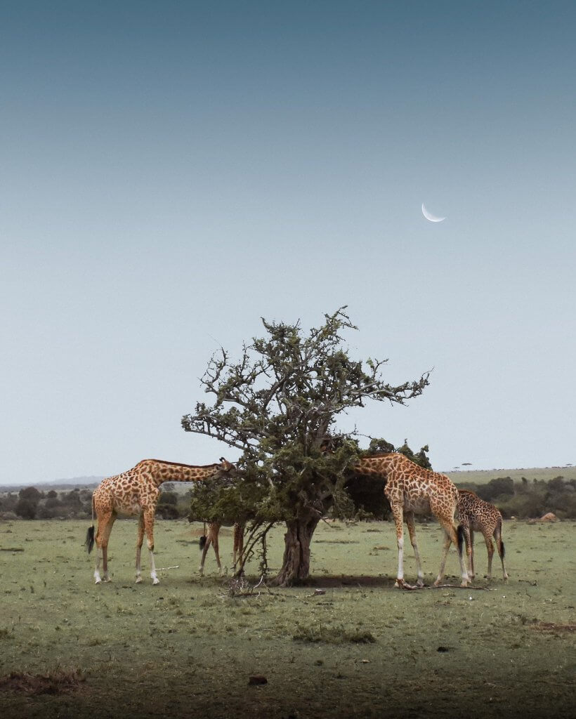 2 mother giraffes and their 2 babies eating an Acacia tree under the setting crescent moon
